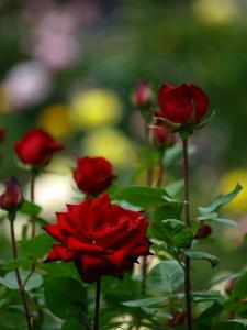 ローズガーデンに咲く紅花