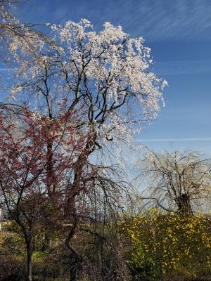 クリックすると拡大できます→◎身近にあった桜景色Ⅱ