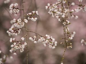 クリックすると拡大できます→◎身近にあった桜景色Ⅳ